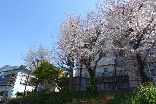 横浜駅からの歩き方|東急フラワー緑道桜